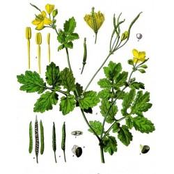 Obrázek z botanického herbáře